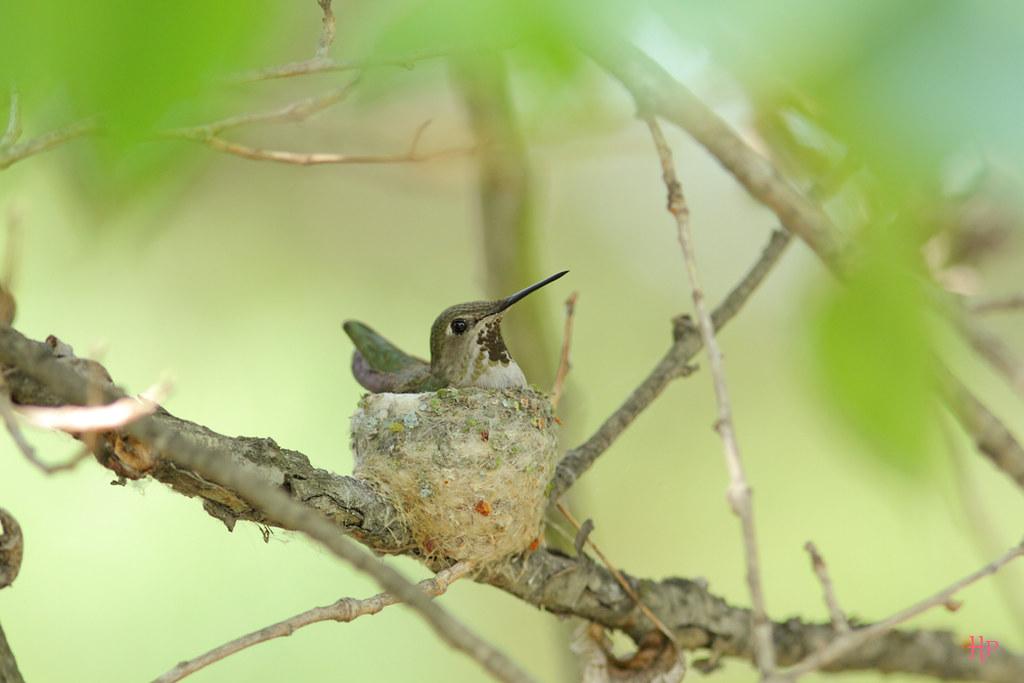 Anna's-Hummingbird-nes052015t