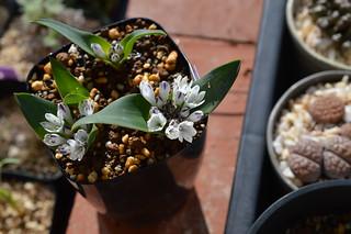 DSC_4569 Polyxena ensifolia Vanrhynspas ポリキセナ エンシフォリア