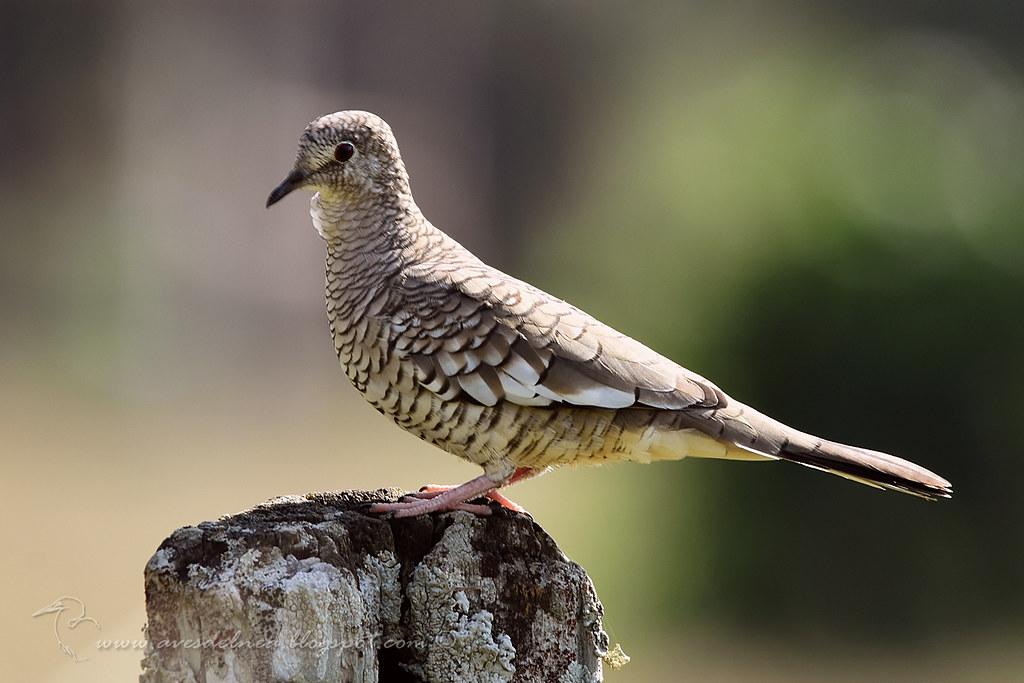 Torcacita escamada (Scaled dove) Columbina squammata