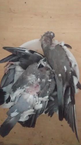 pigeons Oct 16