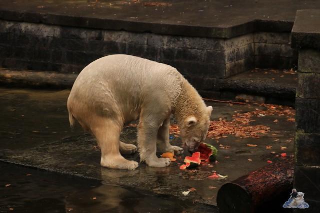 Eisbär Fiete im Zoo Rostock 05.11.2016 006