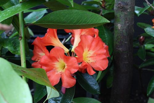 Rhododendron Uluru