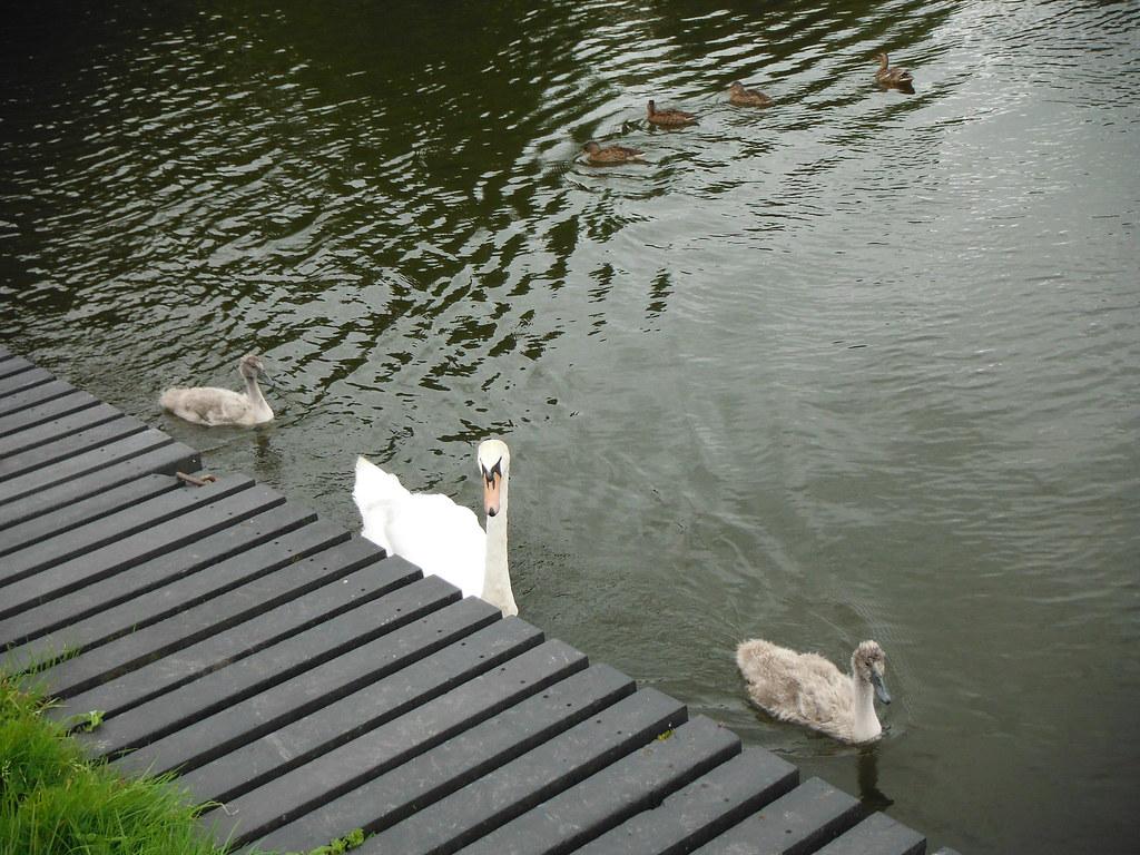 Swan Family 7