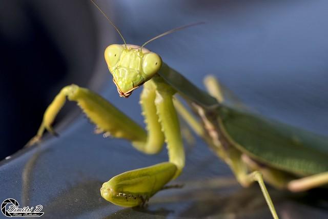 Praying Mantis #03