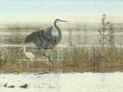 Great Blue Heron and White Ibis 20161130