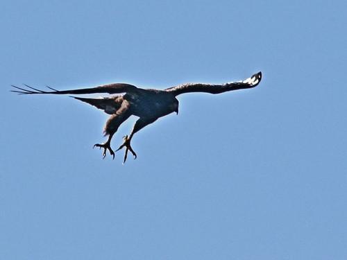 Short-tailed Hawk DPP 20161121