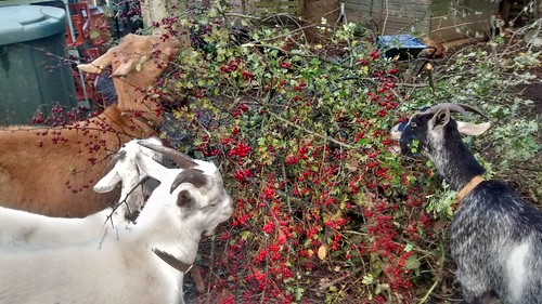 goats eating hawberries Oct 16 (1)