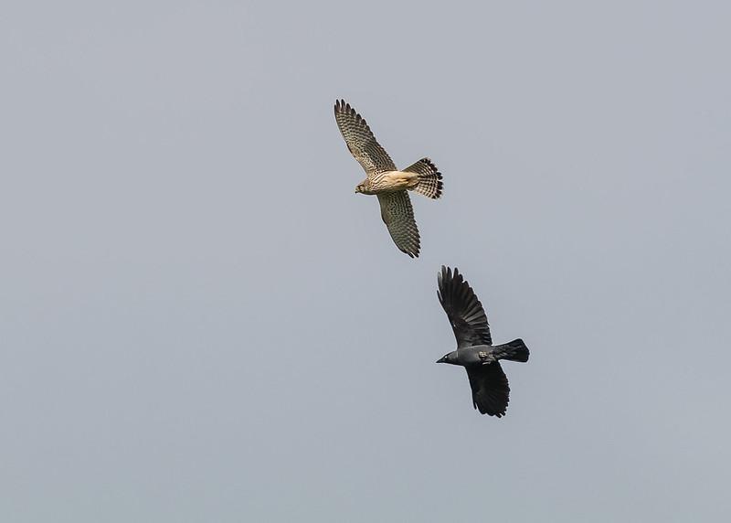 sparrowhawk and crow 063a (32)