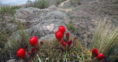 Red flowers blooming on low cactus in the mountain near Tafi in Argentina