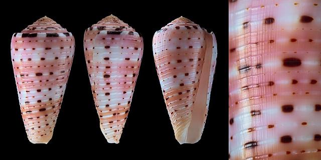Conus (Pionoconus) aurisiacus  Linnaeus, 1758 - Page 2 30429848546_517f921822_z