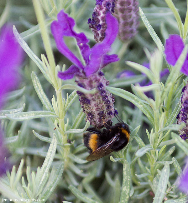 Bees enjoying lavender 01