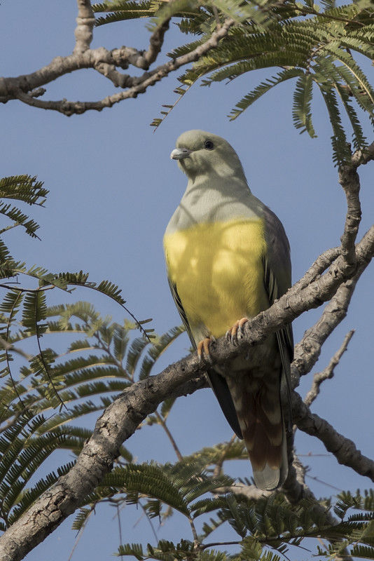 Bruce's Green Pigeon      Gambia 2016