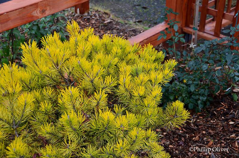 dwarf-pine