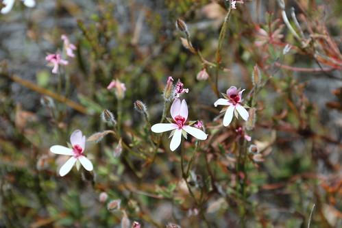 Pelargonium ocellatum