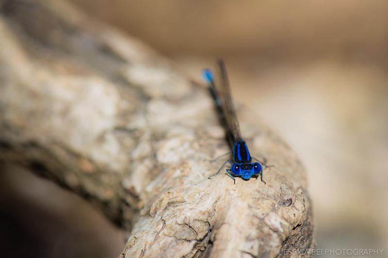 Arbor Hills Nature Preserve Dragonfly