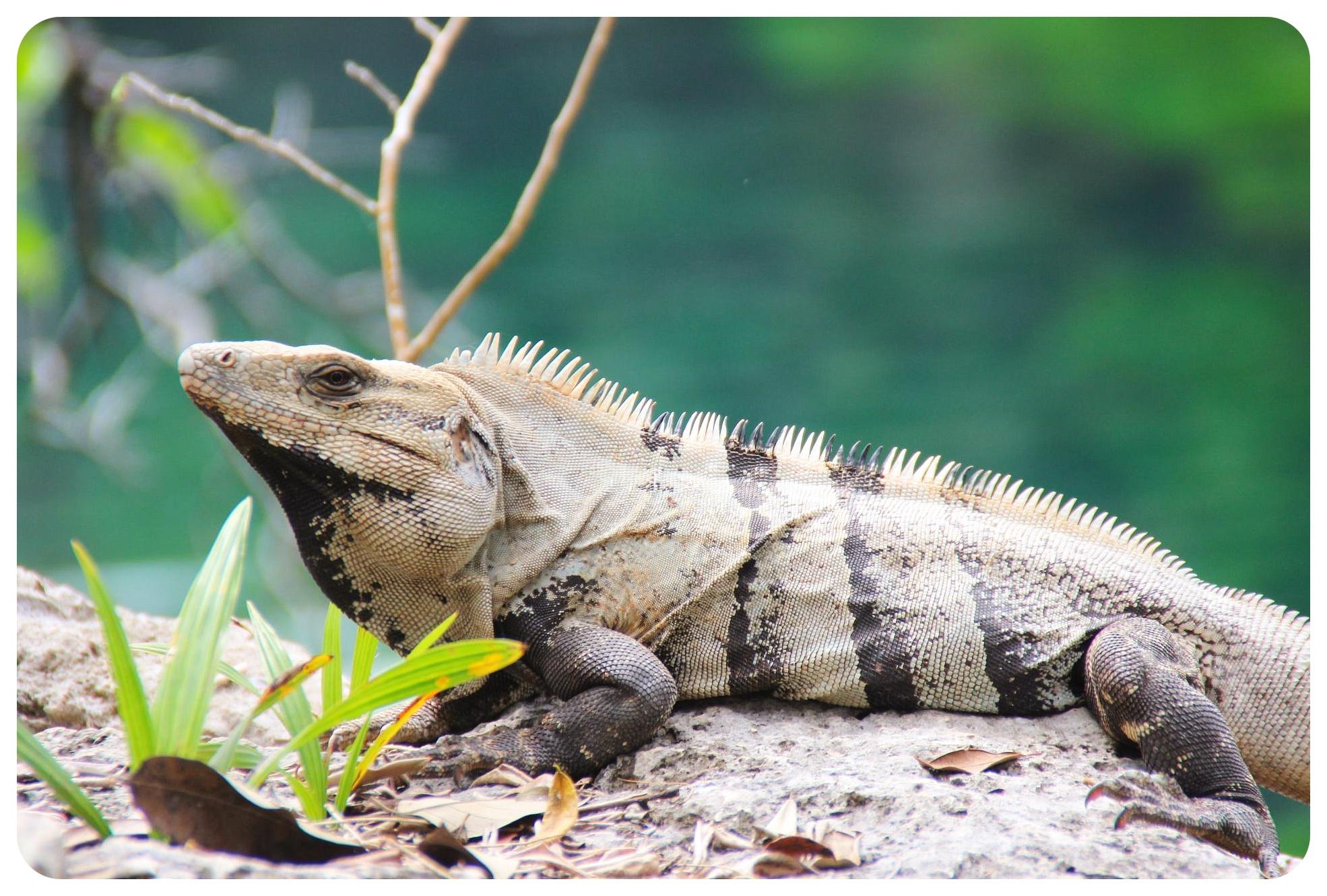 cenote jardin del eden iguana