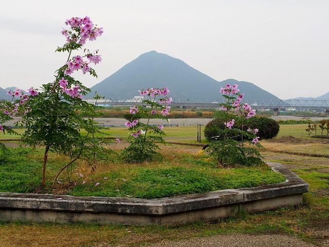 Giant dahlia [tree dahlia] (皇帝ダリア)