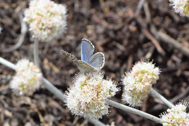 Male Smith's blue butterfly at Salinas River National Wildlife Refuge