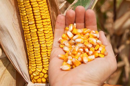Українська кукурудза ісвітовий ринок