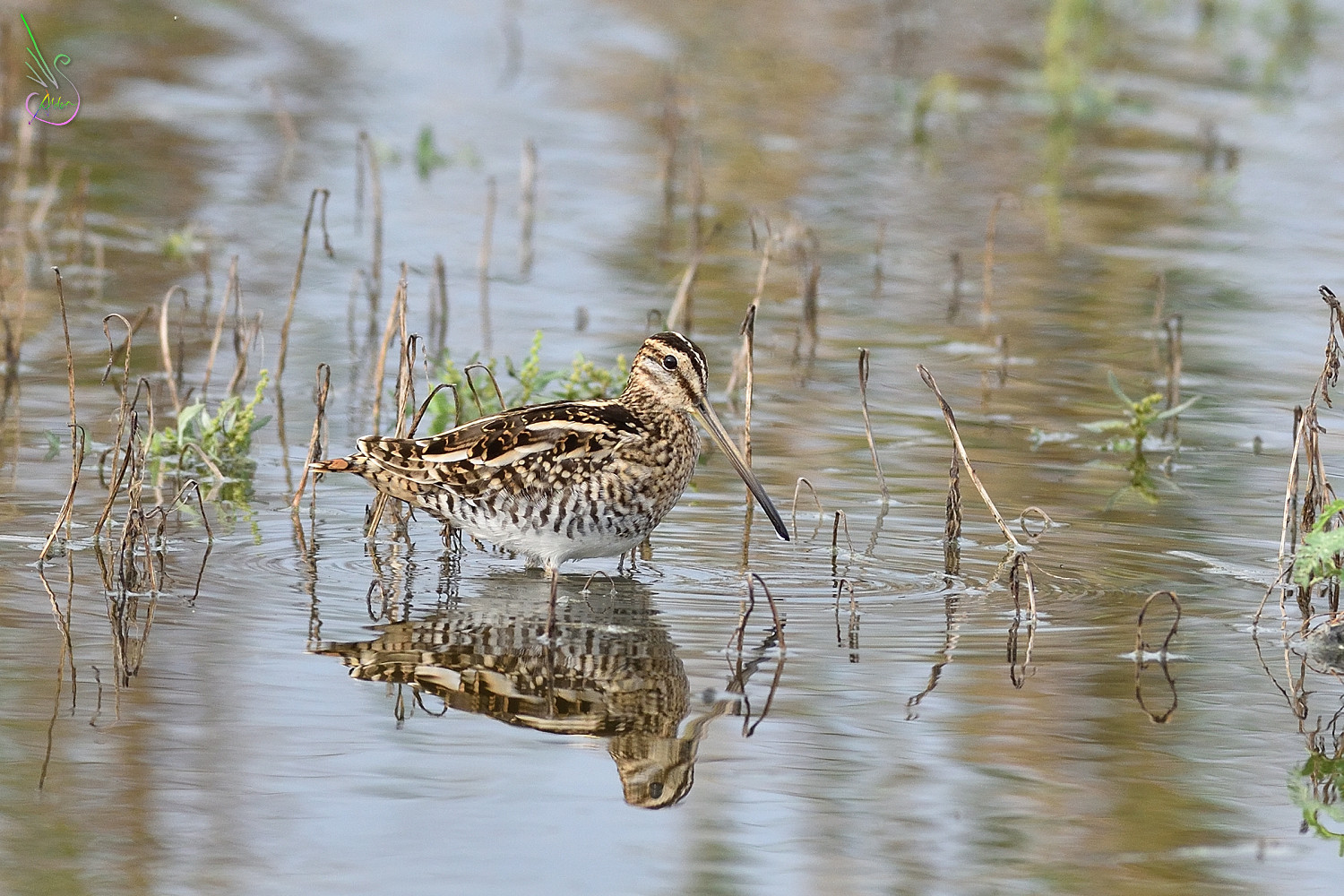 Common_Snipe_9547