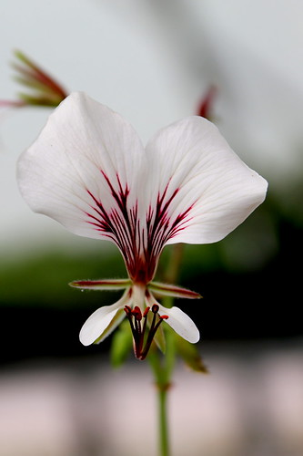 White-flowered form of Pelargonium tetragonum