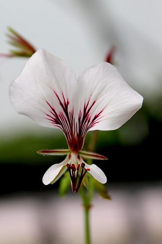 White-flowered form of Pelargonium tetragonum