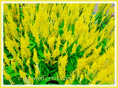 Bright yellow flowers of Celosia at a nursery in our neighbourhood, 6 Feb. 2013