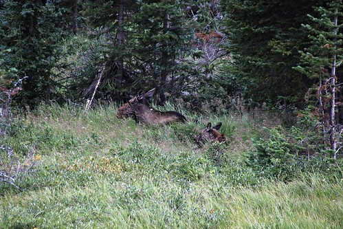 IMG_9369_Moose_Cow_&_Calf_Along_Fall_River_Road