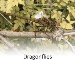 Ladycross Dragonflies