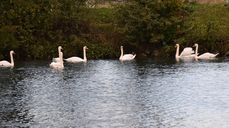 Swans 20.10 (14)