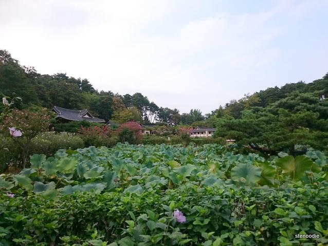 Gangneung Seongyojang lotus plants