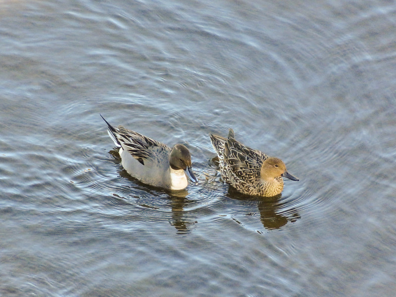 Northern pintail. Male and female