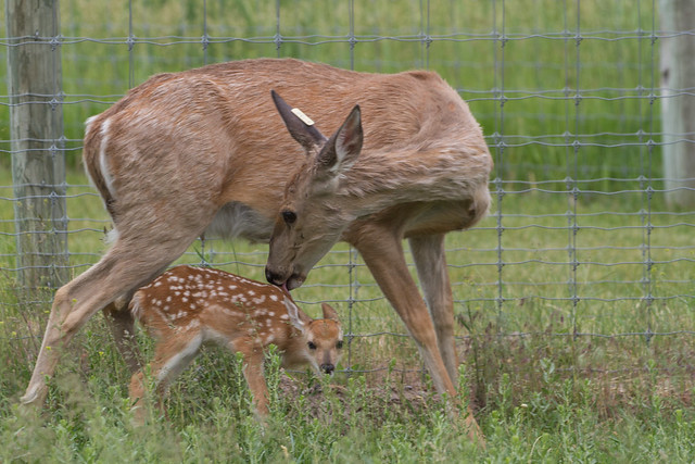Baby Deer and Mom