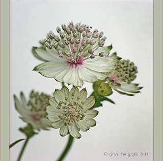 Astrantia  major | by Greet N.