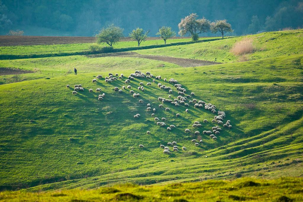 195 Sheeps