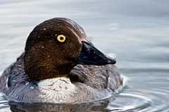 Wet Goldeneye Closeup