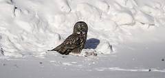 Great Grey Owl protecting its catch by Steve Dinicol