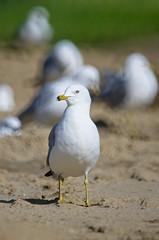 Gulls Lazing About