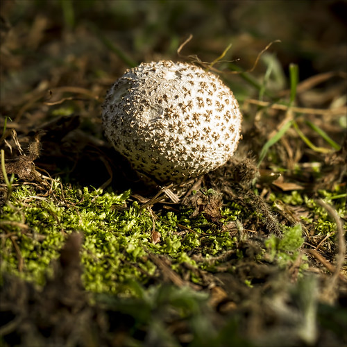 puffball | by Black Cat Photos