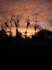 Corn Sunset by MakolePhotography