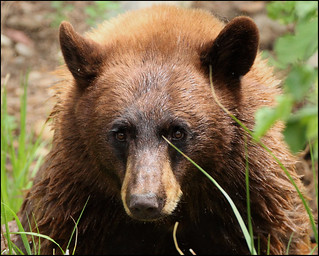 Cinnamon Bear | by gainesp2003