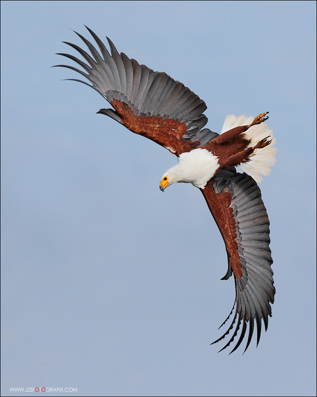 African Fishing Eagle African Fish Eagle Diving
