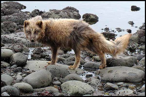 A shedding polar fox. Bering Island  (A. Shienok) | by UNDP in Europe and Central Asia