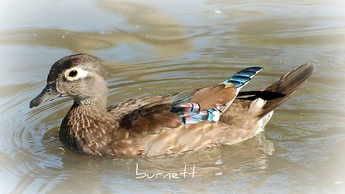 Young Female Wood Duck | by David C Burnett