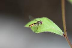 Fly by Ozman666