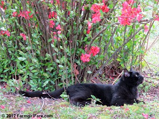 Mr. Midnight under the flowering quince | by Farmgirl Susan