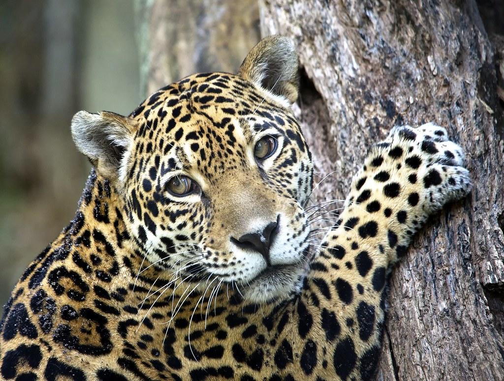 Jaguar Climbing Female Jaguar Climbing Tree