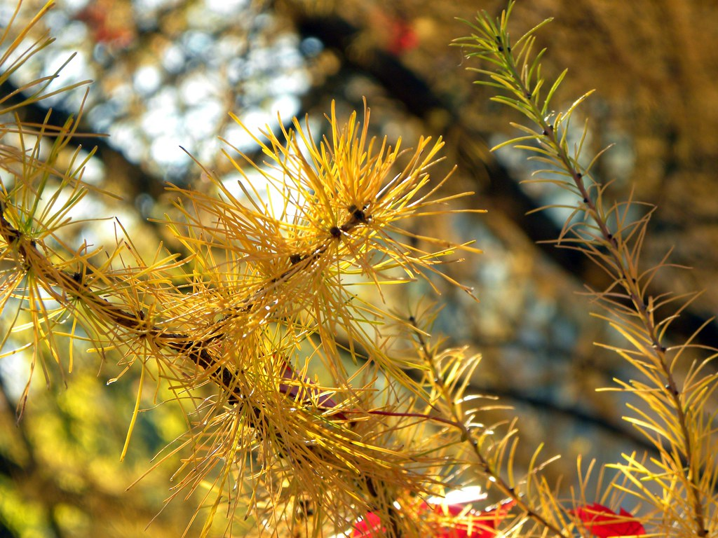 Yellow Pine Tree Yellow Pine Tree Needles
