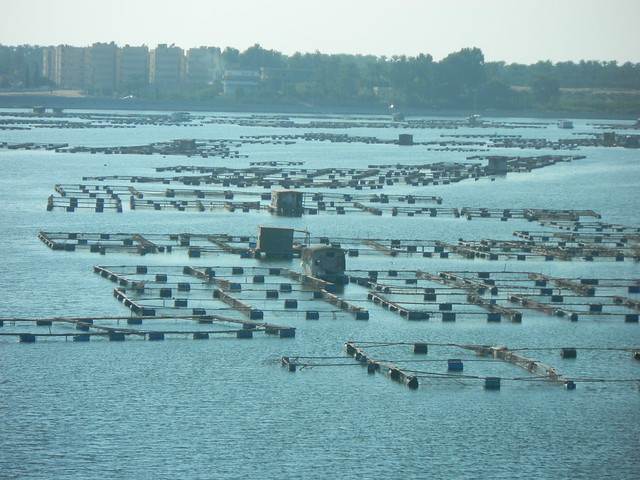 Large tilapia cages near Alexandria, Egypt. Photo by Graeme Macfadyen (Poseidon), 2011