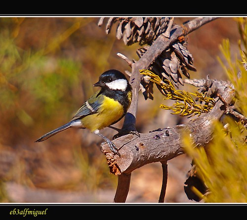 (Parus Major) Carbonero común     -   ( Visto en Explored ) | by eb3alfmiguel